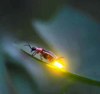 rüyada ateşböceği görmek